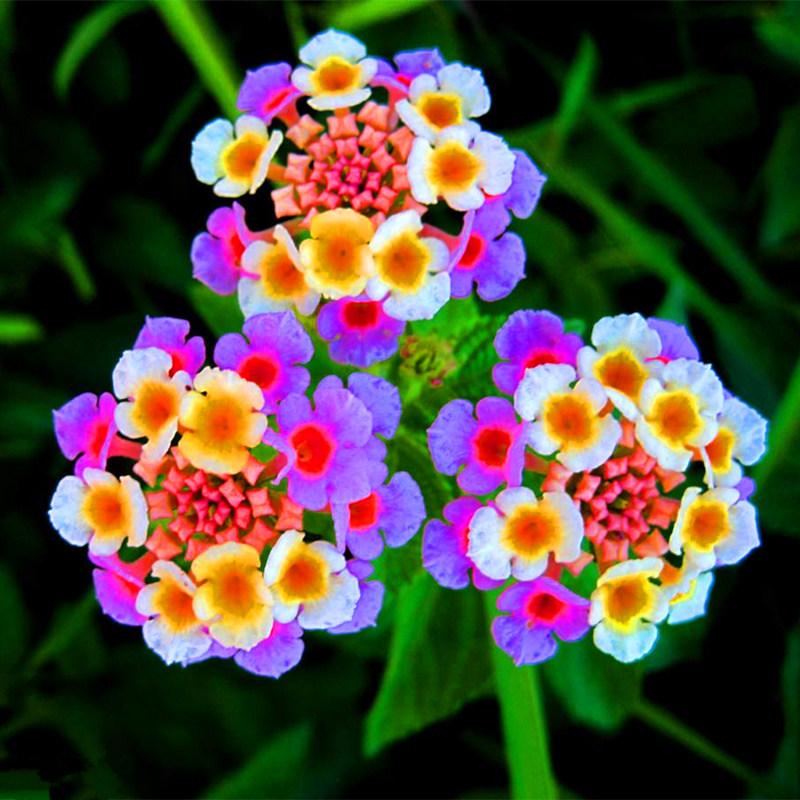 Flowers Similar To Lilies: Beautiful Lantana Camara Flower Seeds, 100pac/pack