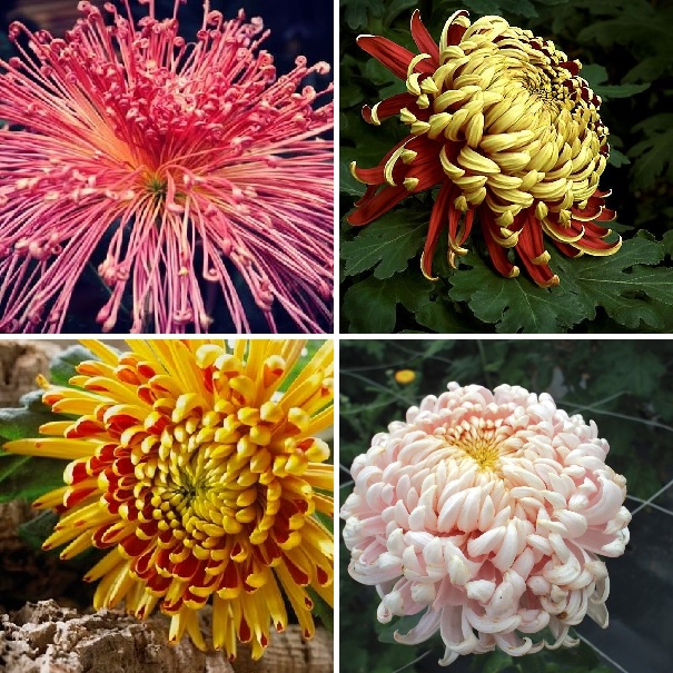 What Does Chrysanthemum Plants For Sale - Jung Seed Mean?