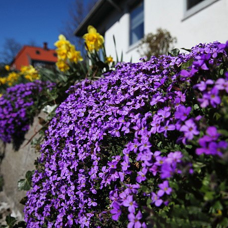 Creeping Thyme Seeds Multi Color Rock Cress Seeds 100