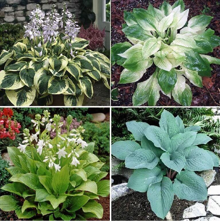 20 Varieties Rare Hosta Plant Seeds 100pcspack Greenseedgarden
