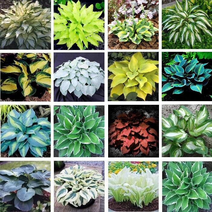 Multi Varieties Hosta Seeds Ground Cover Plant 100pcs Pack