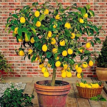 Bonsai Lemon Tree Seeds Fruit Seeds 20pcs Pack Greenseedgarden