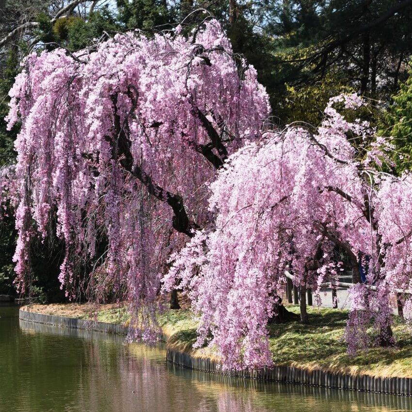 Sakura Tree Seeds, Weeping Sakura Tree, 10pcs/pack