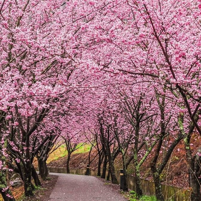 Cherry Blossom Tree Seeds Pink Sakura Seeds 10pcs Pack Greenseedgarden