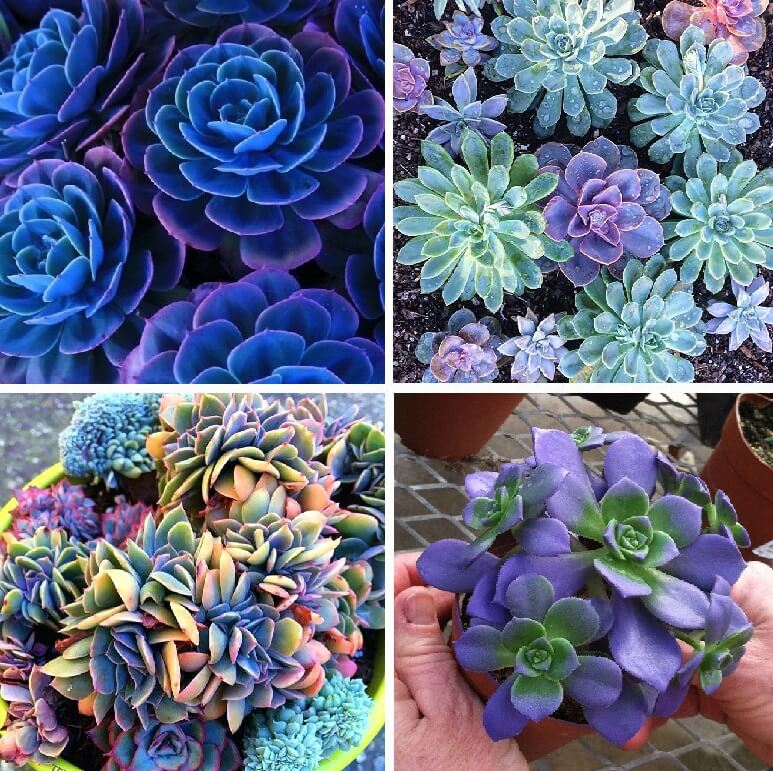 Blue Succulents Witchford Lithops Seeds, Cactus Seeds