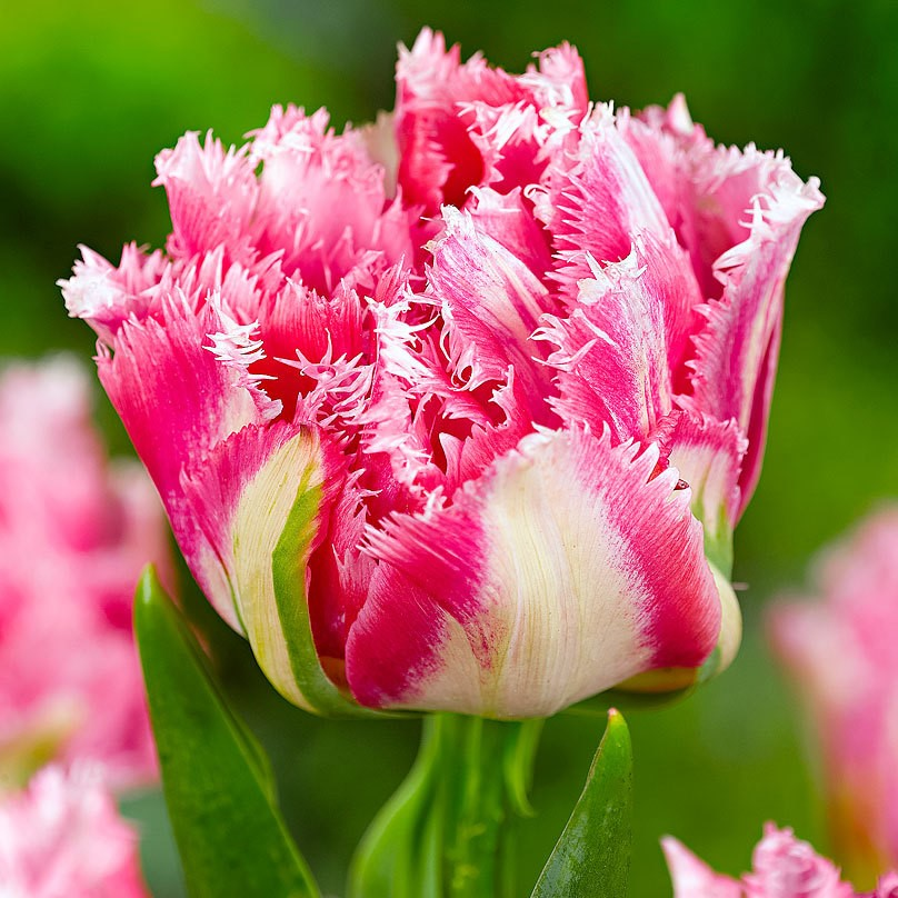 Colors Of Tulips: Tulip Flower Seeds, Multi-Color Options, Rare Color 100pcs