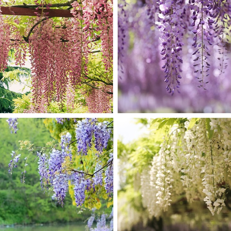 Multi Color Wisteria Tree Seeds 10pcs Pack Greenseedgarden