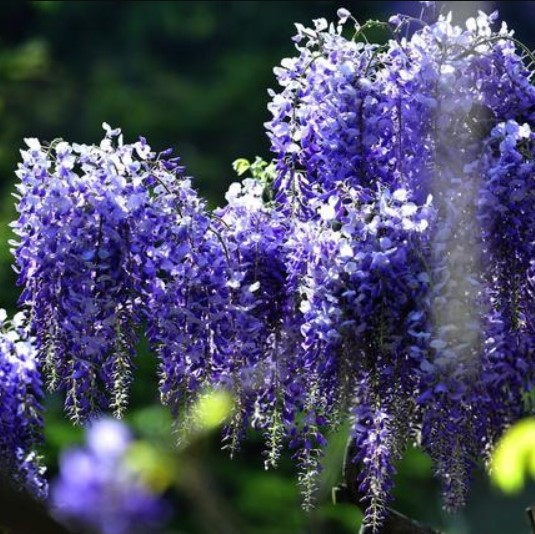 Rare Blue Wisteria Tree Seeds 10pcs Pack Greenseedgarden