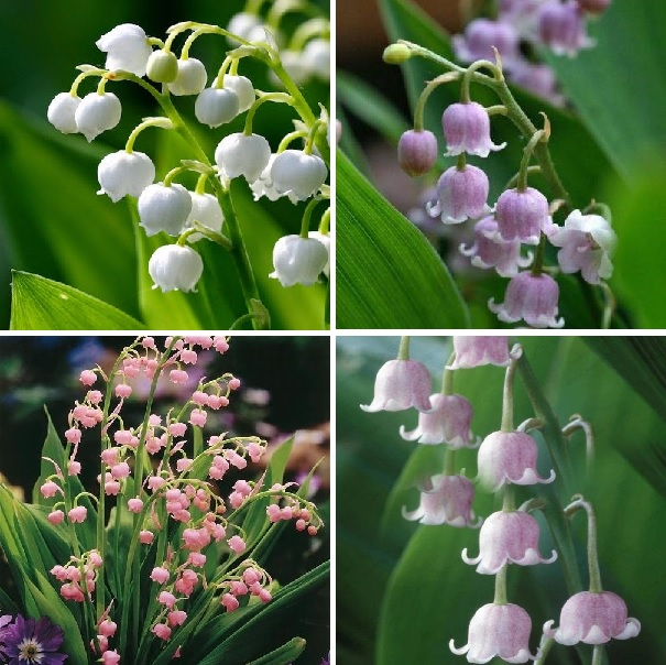100 Blue Lily of the Valley Seeds Bell Orchinds Perennial Flower Seed